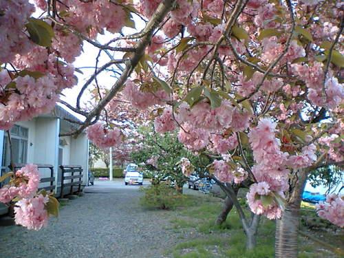 恋桜2005